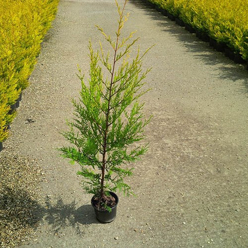 Golden Leylandii Conifer