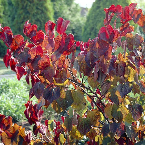 Cercis canadensis Forest Pansy in 2L pot