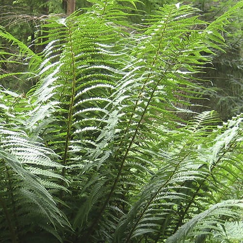 Hardy Tree Fern (Dicksonia antarctica) log - 0.5 foot potter