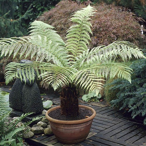 Hardy Tree Fern Dicksonia antarctica log
