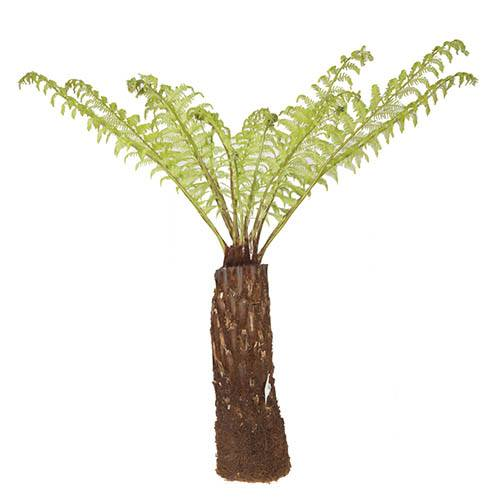 Tree Fern Dicksonia antarctica log