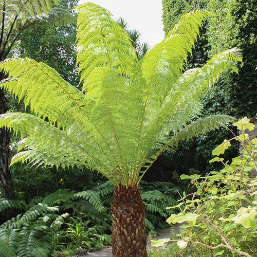 Tree Fern (Dicksonia antarctica) log - 3 foot