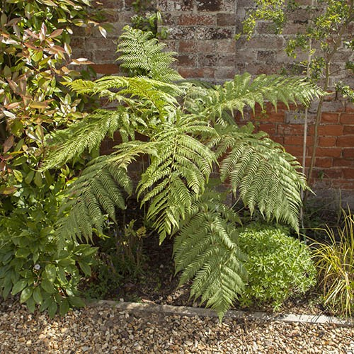 hardy tree fern dicksonia antarctica log 20cm tall. Black Bedroom Furniture Sets. Home Design Ideas