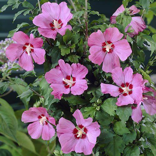 Hibiscus 'Woodbridge' 2L
