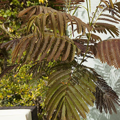 Chocolate Silk Tree - Albizia Summer Chocolate