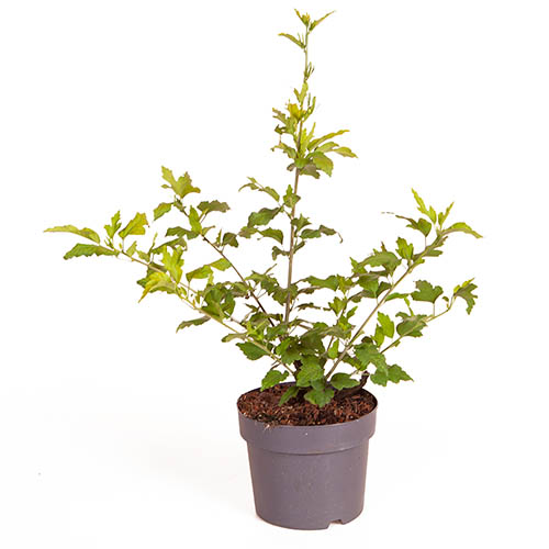 Hibiscus syriacus Hamabo