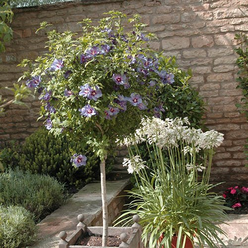 Hibiscus Marina Blue Standard