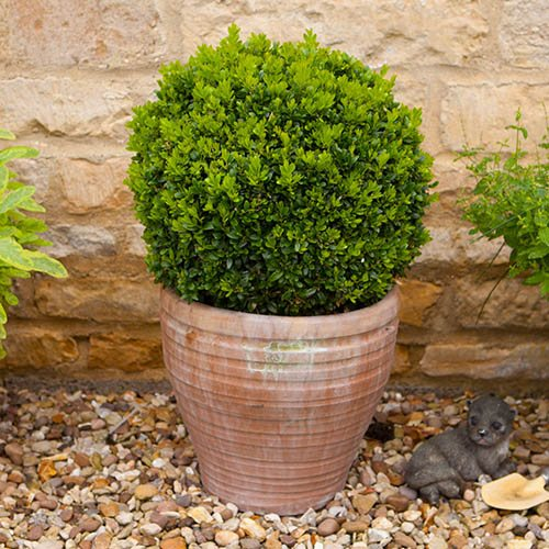 Pair of Buxus Box Balls