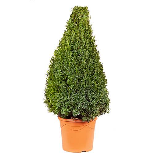 Box Topiary Cone 1.1m tall