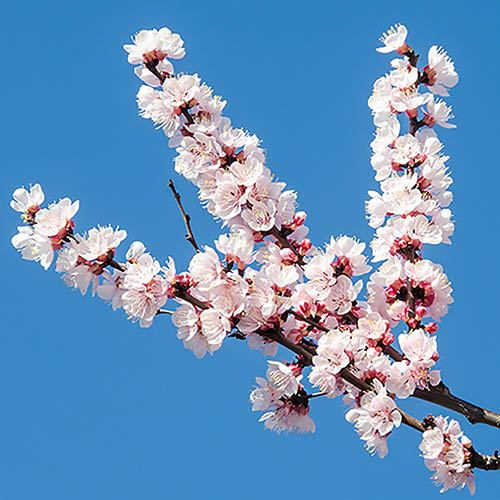 Flowering Japanese Cherry The Bride