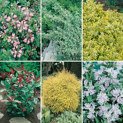 Hardy evergreen shrub collection for Evergreen climbing plants for privacy