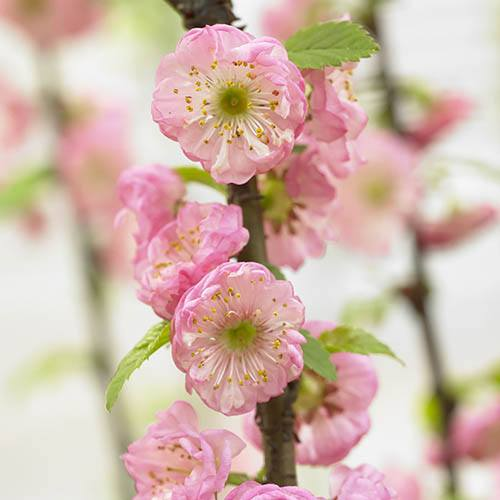 Flowering Cherry Almond Prunus triloba Standard
