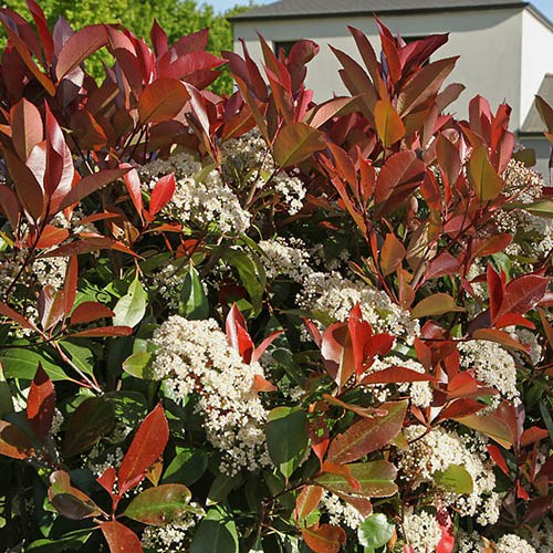 Photinia Little Red Robin 2L