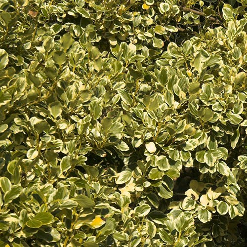 Griselinia Littoralis Variegata New Zealand Privet