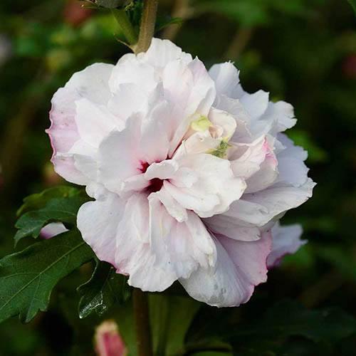 Hibiscus French Cabaret Pastel