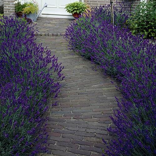 Lavender Hidcote x 10 Hedging Plants