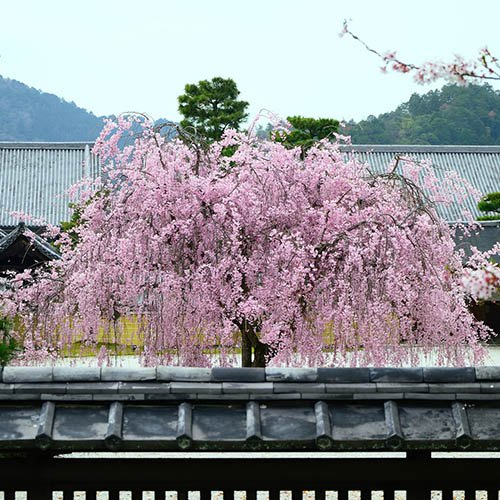 Flowering Cherry Kiku Shidare Zakura