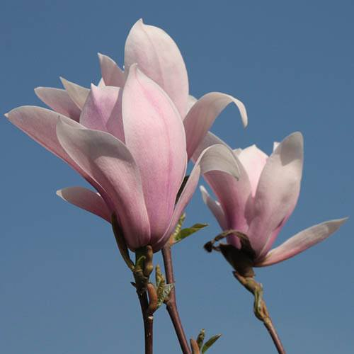 Magnolia Lucky Red Half Standard