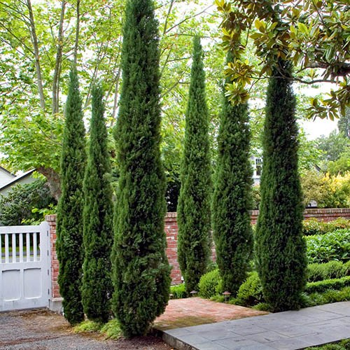 Pair of Italian Cypress trees 80 -100cm tall