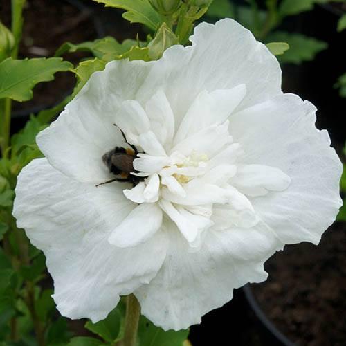 Hibiscus syriacus White Chiffon br