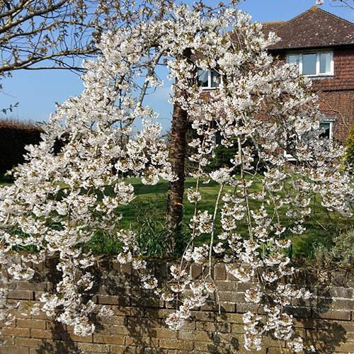 Flowering Weeping Cherry Snow Showers