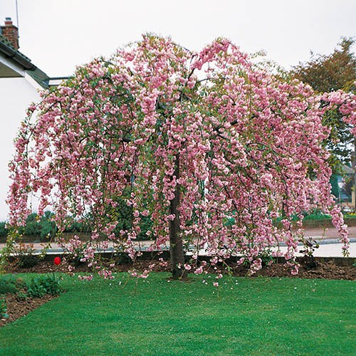 Pair of Weeping Cherry Trees