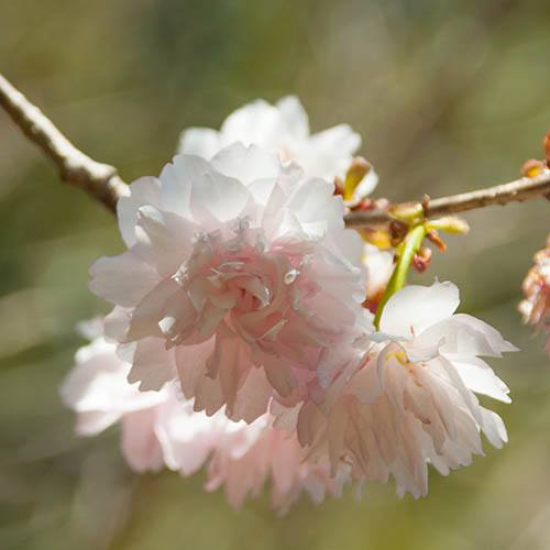 Ornamental Flowering Cherry Shogetsu