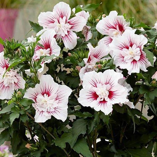 Flowering Hibiscus Collection.