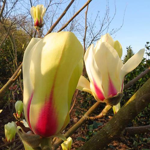 Magnolia denudata Sunrise