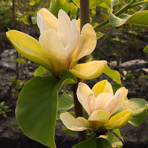 Magnolia denudata Sunrise Standard