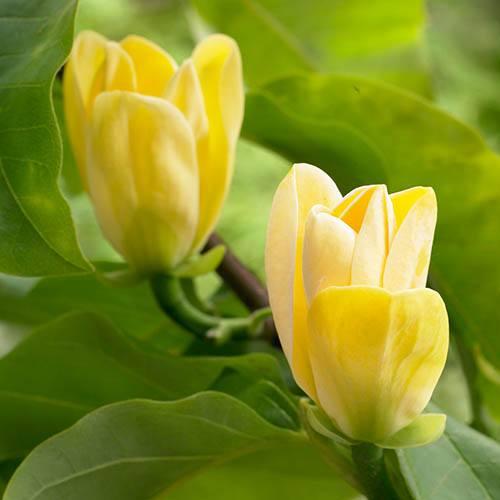 Magnolia Yellow Bird Half Standard