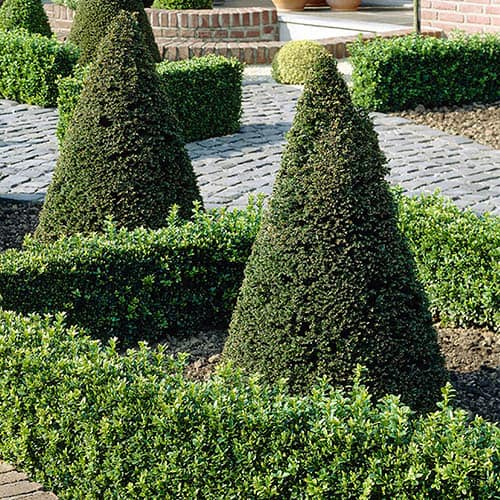 Yew Topiary Pyramid Cone (Taxus baccata)