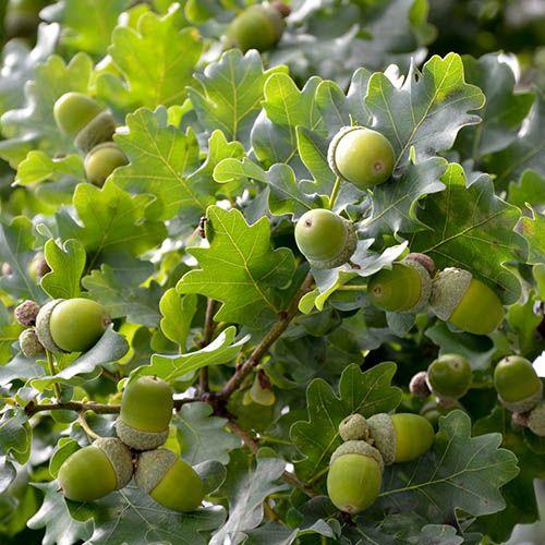 Sessile Oak, Quercus petraea