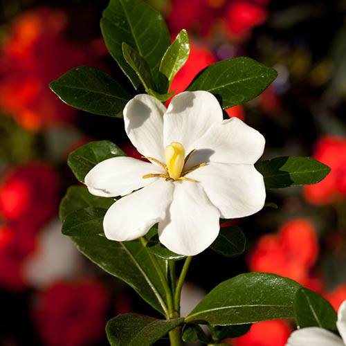 Gardenia Kleims Hardy 9cm
