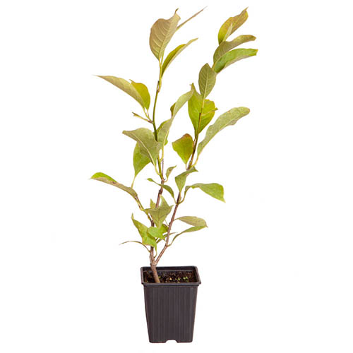 Magnolia x soulangeana Saucer Magnolia