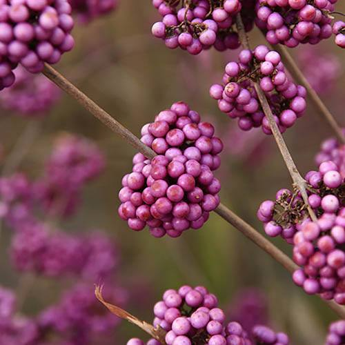 Callicarpa Profusion Beauty Berry