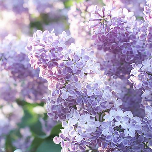 Fragrant French Lilac Collection