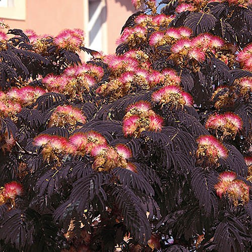 Chocolate Tree - Albizia Eveys Pride