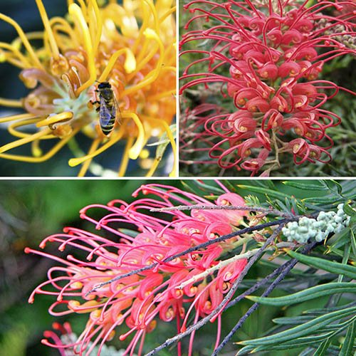Grevillea Collection