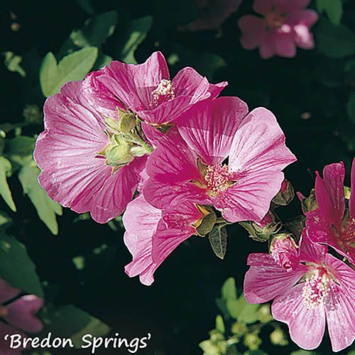 Lavatera Mallow Collection