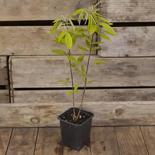 Lespedeza thunbergii - Bush Clover