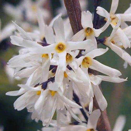 White Forsythia Abeliophyllum distichum