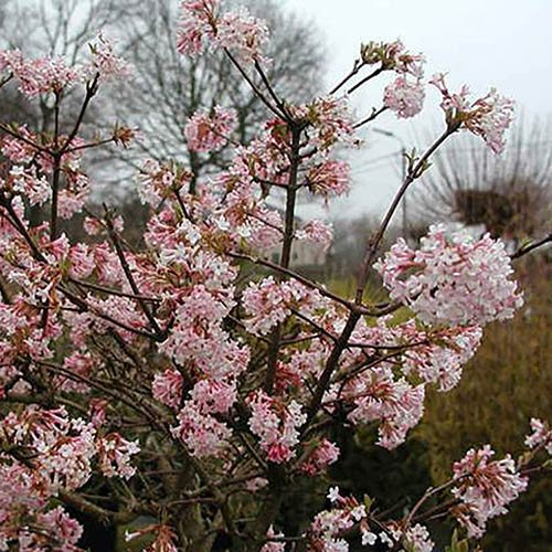 viburnum bodnantense 39 charles lamont 39. Black Bedroom Furniture Sets. Home Design Ideas