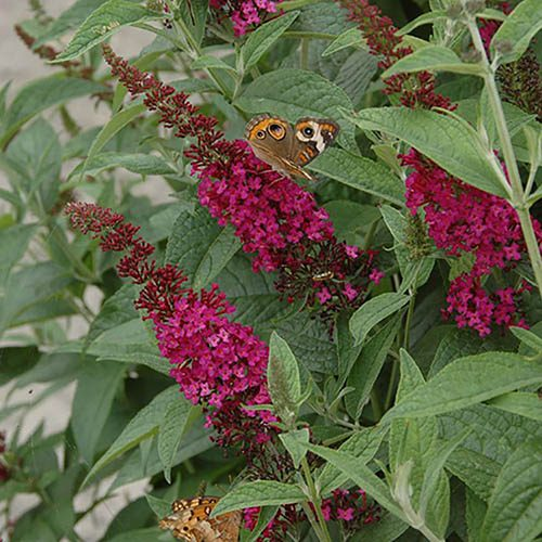 Dwarf Buddleia Red Chip