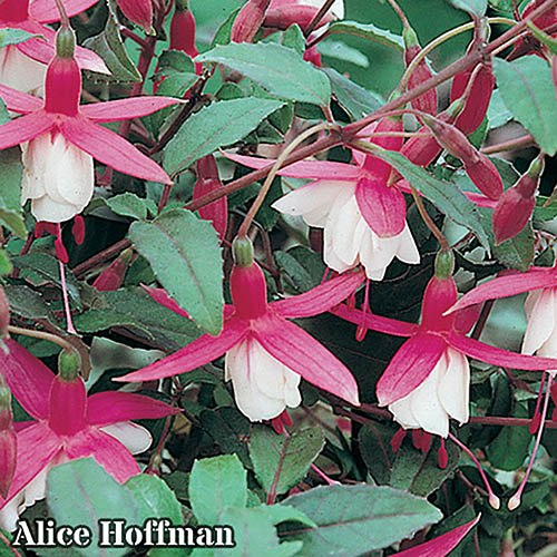 Best-Sellers Hardy Fuchsia garden Ready Collection x 6