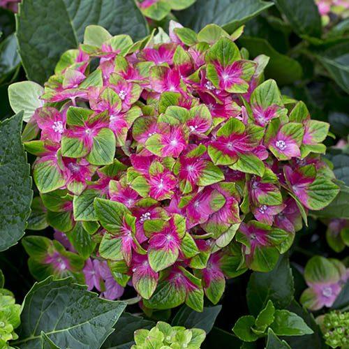 Hydrangea Glam Rock (Schloss Wackerbath)