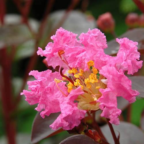 Lagerstroemia Rhapsody in Pink