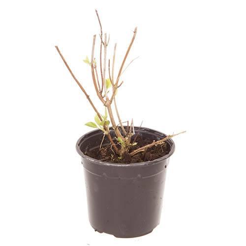 Tree Hydrangea Invincibelle plant