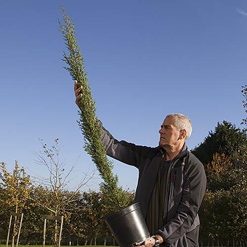 Pair of Italian Cypress Trees Cupressus sempervirens