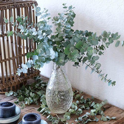 Eucalyptus gunnii Azura